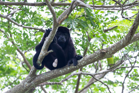 howler: tropical scene with an adult male mantled howler up a tree in the Nicoya Peninsula in Costa Rica