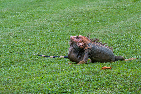 spiny: tropical scene with a spiny tailed iguana crawling on the ground