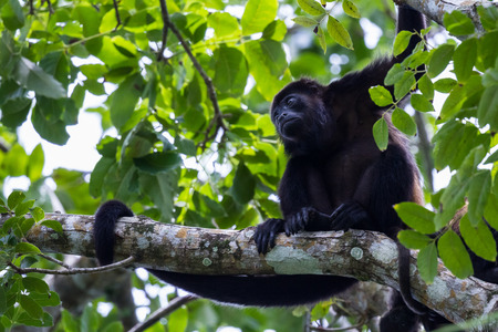 tropical scene with an adult male mantled howler up a tree in the Nicoya Peninsula in Costa Rica