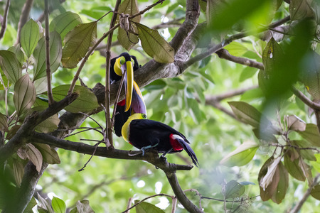 matting: beautiful toucans in a tropical rain forest of Costa Rica Stock Photo