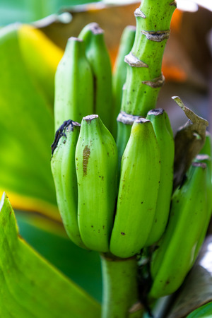 cluster of small green bananas growing on a plant in a rainforest of Costa Rica 스톡 콘텐츠