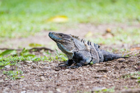 spiny: spiny tail iguana walking on the ground in the pacific Costa Rica