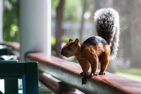 cute red squirrel with a black stripe on its back inside of a resort restaurant asking tourists for food