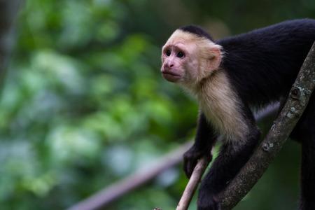 white headed capuchin monkey in a natural park in Costa Rica