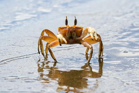 코스타리카에서 어두운 모래 해변에서 실행 작은 유령 크랩의 폐쇄