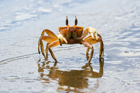close up of a small ghost crab running on a dark sand beach in Costa Rica