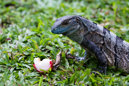spiny: spiny tail iguana eating an apple in the pacific Costa Rica
