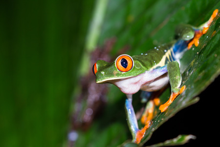 agalychnis: close up of a wild red eyed tree frog at night in a tropical setting near Arenal in Costa Rica