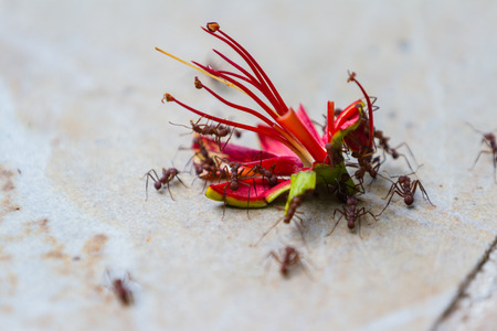 leaf cutter: large red leaf cutter ants working as natures  clean up crew by cutting and removing dead flowers form the ground Stock Photo
