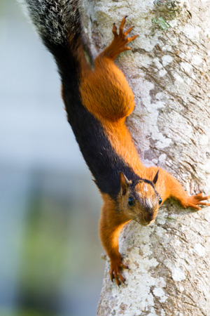 tropical red squirrel with a dark stripe on his back and a bushy grey tail