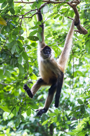 spider monkey hanging from a tree in a natural park in Costa Rica
