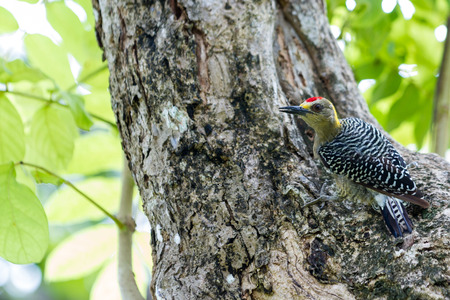 rain forest animal: natural scene with a black checked woodpecker perched on a large tree searching for food Stock Photo