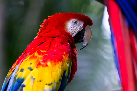 rain forest animal: Scarlet Macaw with yellow, red and blue colors found in the rainforest of Costa Rica Stock Photo