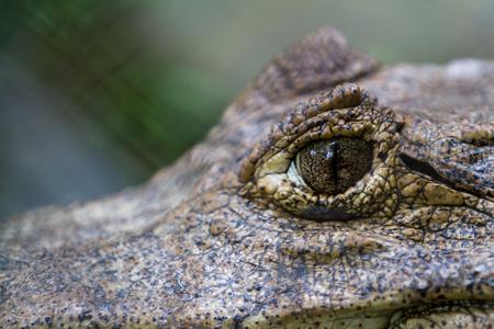 thru: close up of a caymans eye thru a fence Stock Photo