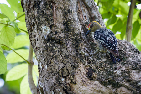 large tree: natural scene with a black checked woodpecker perched on a large tree searching for food Stock Photo