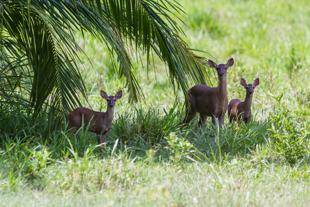 white tail: mom and twins white tail deer standing in green grass in Costa Rica
