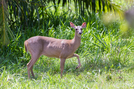 doe showing threatening sings by stomping on the ground. The white tailed deer is the symbol for wildlife of Costa Rica.