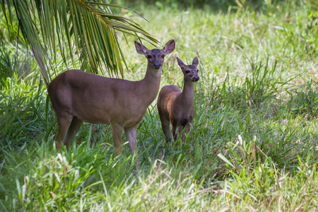 virginianus: doe protecting her fawn in a green pasture in Costa Rica. the white tailed deer is the symbol for wildlife of the country.