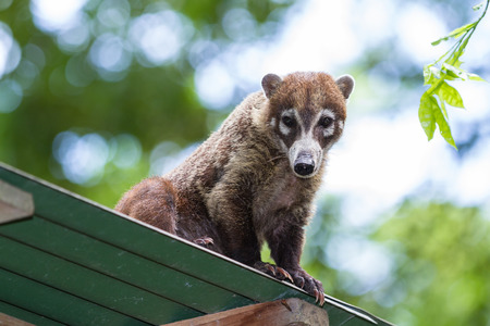 white nosed coati relaxing on a tin roof in tropical Costa Rica Stock Photo