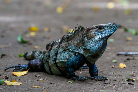 awesome looking iguana with an iridescent blue color in the jungle floor of Costa Rica