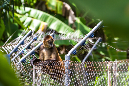 thru: Spider monkey climbing thru and on an old abandoned electoral fence in the jungle