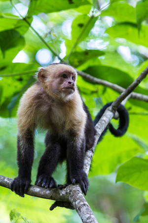 white faced monkeys relaxing on a tree in Costa Rica. Pura Vida. Stock Photo