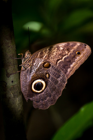 beautiful own butterfly on a small branch in the rainforest of Costa Rica