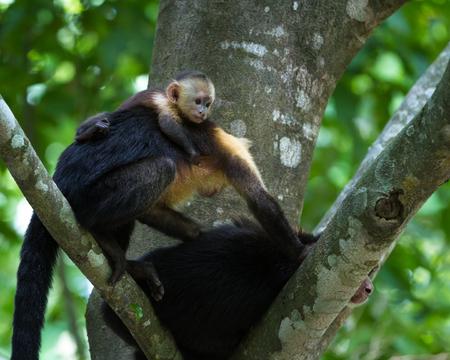 엄마와 아기 흰색 직면 돈을 코스타리카 열대 우림에 큰 나무에서 휴식 스톡 콘텐츠 - 65157083