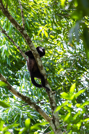 howler: howler monkey on a tree in the rainforest of Costa Rica