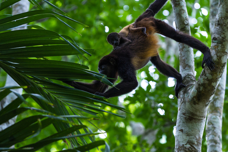 howler: baby howler monkey hanging from his mother as she reaches for leaves in the rainforest Stock Photo