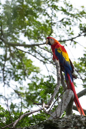 tropical evergreen forest: beautiful wild  scarlet macaw perched on a tree in the pacific coast of Costa Rica