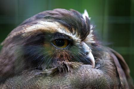 close up of a beautiful own in a rehabilitation center for wildlife in Costa Rica Stock Photo