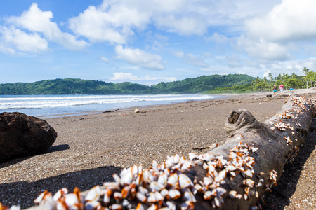mussel: cluster of mussels on a piece of drift wood in the pacific coast of Costa Rica Stock Photo