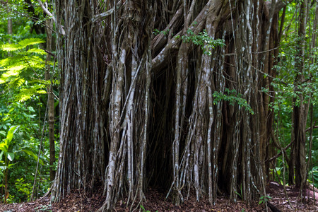 dicot: interesting view straight on of a  wide curtain fig tree in Costa Rica