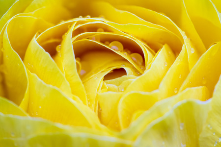 close up of a wild yellow rose with fresh rain drops