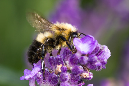 close up of a bumblebee feeding on fresh lavender blooms with a natural background Stock Photo