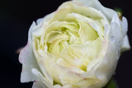 close up of a wild white rose with fresh rain drops