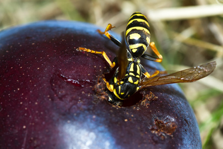 close out: close up of a yellow jackets butt sticking out of a hole in an overripe plum