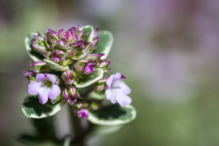 macro of a healthy looking thyme plant with pink blooms