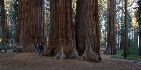 big sequoias in a group with a man standing at the base to get an idea of the size of this trees