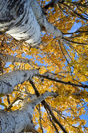 aspen leaf: Birch trees with glowing golden leaves in autumn, photo shot with a looking up perspective including the tree trunk Stock Photo