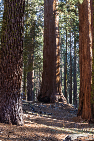 spongy: Beautiful giant sequoia trees with a beautiful almost orange bark glowing in the sunshine in the Sequoia National Park in California