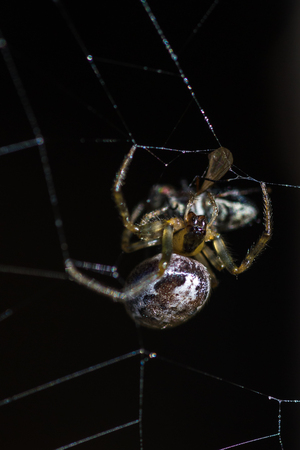 arachnidae: close up of a spider wrapping a freshly caught fly in a sticky web with a dark background Stock Photo