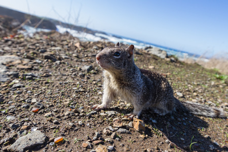 close up of a ground squirrel using a wide angle lens with a couple of sea glass pieces native to Fort Bragg California Stock Photo