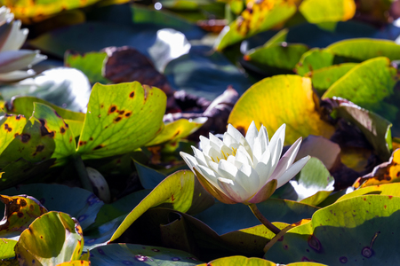 close up of a beautiful lotus flower on a pond Imagens