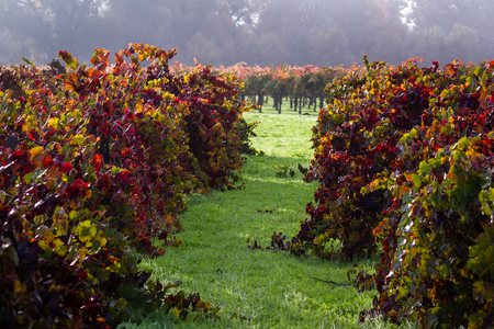 morning fog and due at sunrise in a colorful vineyard in Calistoga California due to seasonal changes in autumn