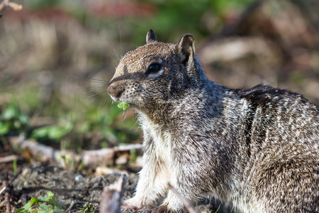 close up of a grey ground squirrel eating a green leaf Stock Photo