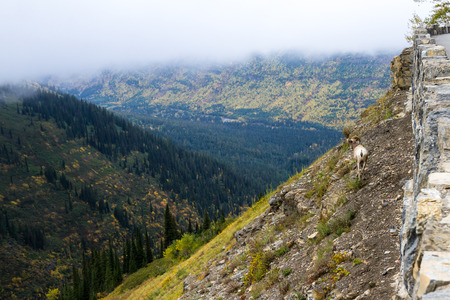 wildlife in Glacier National Park, a big horn sheep on a steep canyon with autumn vegetation in the background Stock Photo