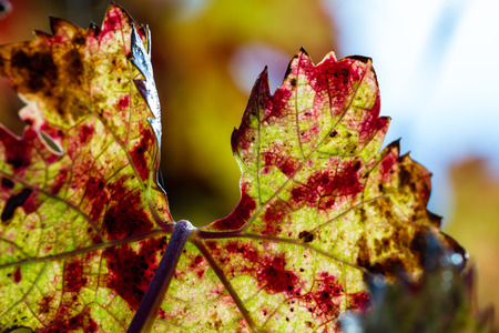 changing colors on the grape leafs in Napa Valley from yellow to red and a bit of green in spots Stock Photo