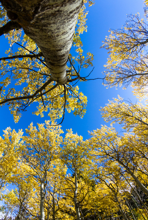 aspen leaf: beautiful golden leaves on a grove of birch trees in Montana looking up with a blue sky in the background